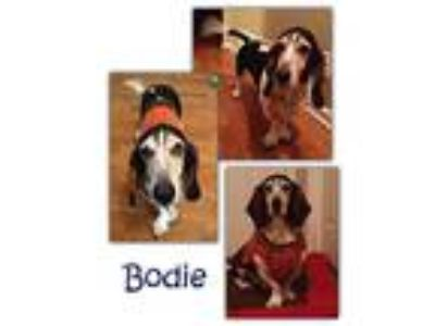 Adopt Bodie a Tricolor (Tan/Brown & Black & White) Basset Hound / Mixed dog in