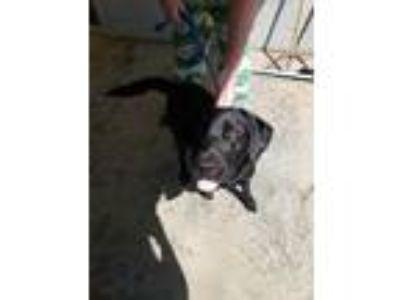 Adopt Onyx a Black Labrador Retriever / Mixed dog in Amory, MS (25240068)