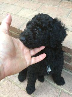 Poodle (Standard) PUPPY FOR SALE ADN-93254 - Black Standard Poodles