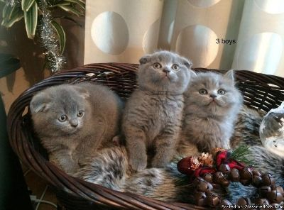 JANHEB Scottish Fold kittens available to go