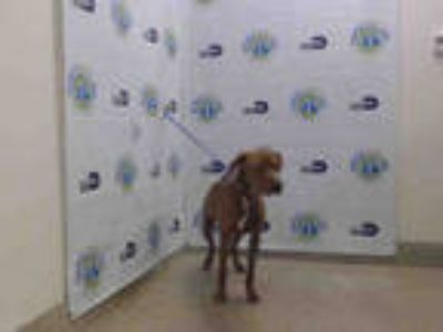 Adopt KELLY a Brown/Chocolate - with White Vizsla / Mixed dog in Doral