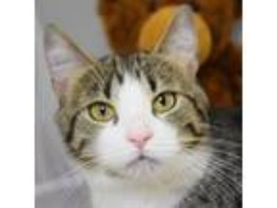 Adopt Bella a Domestic Short Hair, Tabby
