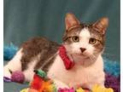 Adopt Flippy a Domestic Short Hair