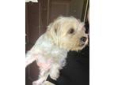 Adopt LUCY a White Lhasa Apso / Shih Tzu / Mixed dog in San Antonio
