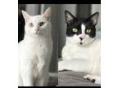 Adopt Two awesome cats need a home(s)! St. Augustine a Domestic Short Hair