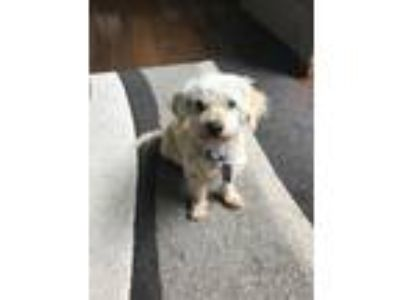 Adopt Biscuit a White Poodle (Miniature) / Bichon Frise / Mixed dog in Portland