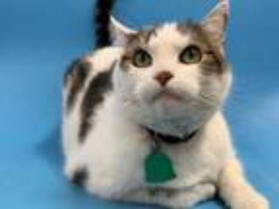 Adopt Jimmy a Domestic Short Hair