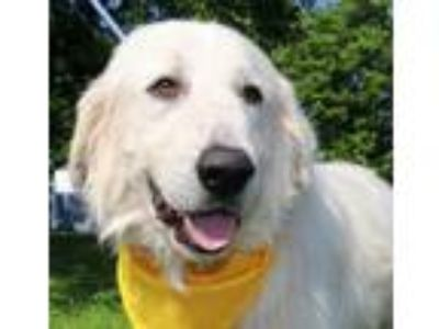 Adopt Jack Daniels JuM a White - with Tan, Yellow or Fawn Great Pyrenees / Mixed