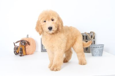 Goldendoodle PUPPY FOR SALE ADN-99504 - Harley Male Goldendoodle Puppy