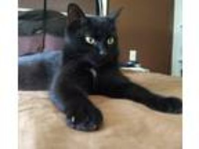 craigslist animals and pets for adoption classifieds in kalamazooadopt catherine a all black domestic shorthair (short coat) cat in kalamazoo