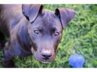 Adopt Morgan Freeman a Black Labrador Retriever / American Pit Bull Terrier dog