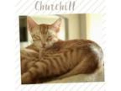 Adopt Churchill a Orange or Red (Mostly) Domestic Shorthair / Mixed (short coat)