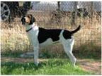 Adopt NORA KATE-Courtesy Listing a Treeing Walker Coonhound, American Foxhound
