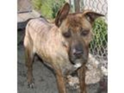 Adopt Sabrina a Dutch Shepherd