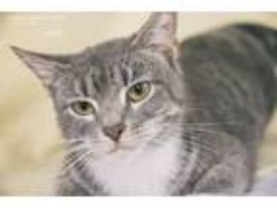 Adopt Holly a Gray, Blue or Silver Tabby Domestic Shorthair (short coat) cat in