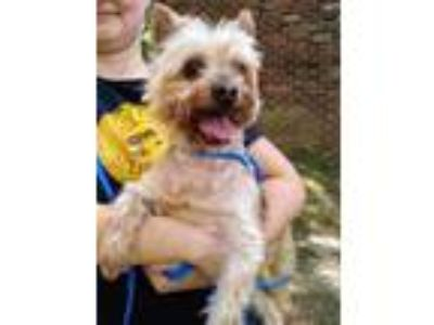 Adopt Chester and Honey a Yorkshire Terrier