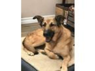 Adopt Diana a German Shepherd Dog, Belgian Shepherd / Malinois