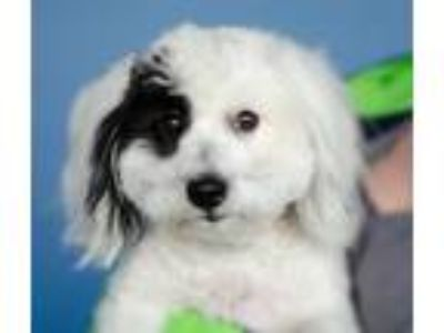 Adopt Baxter a White - with Black Coton de Tulear / Mixed dog in Issaquah