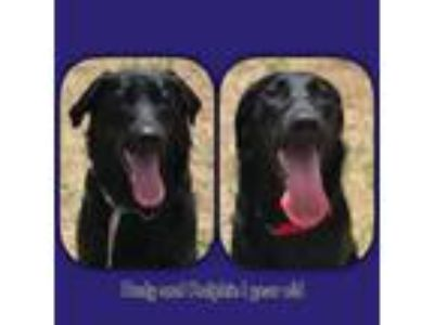 Adopt Ralphie and Rudy a Labrador Retriever, Mixed Breed