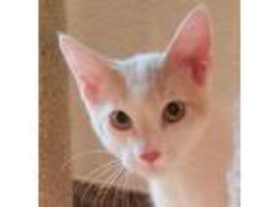 Adopt Hal a Domestic Short Hair