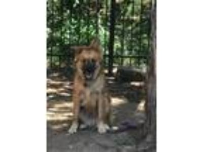Adopt Keto a Tricolor (Tan/Brown & Black & White) Chow Chow / Collie / Mixed dog