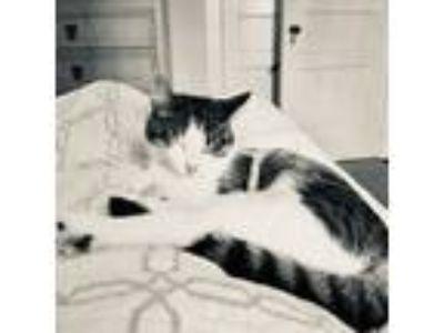 Adopt Jolene a Brown Tabby American Shorthair cat in Nashville, TN (25048334)