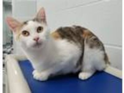 Adopt Lilac a Domestic Short Hair