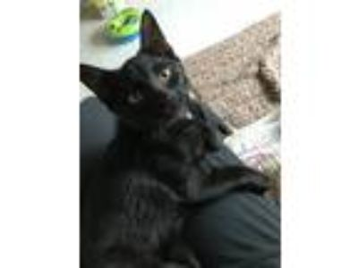 Adopt Arabella a Black (Mostly) Domestic Shorthair / Mixed cat in Andover