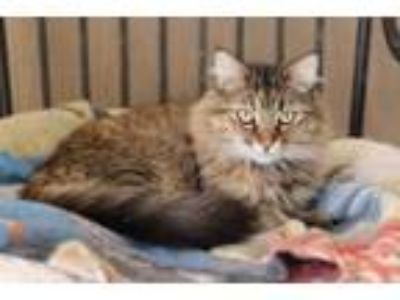 Adopt Safire a Maine Coon, Tabby