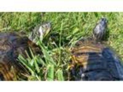 Adopt Yellow Bellied Sliders-Medium a Turtle