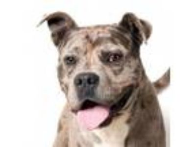 Adopt Mauricio a Pit Bull Terrier, Catahoula Leopard Dog