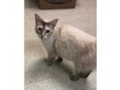 Adopt Skeeter a Cream or Ivory Siamese / Domestic Shorthair / Mixed cat in
