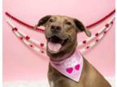 Adopt Roxy fka Zoey a Weimaraner, Labrador Retriever