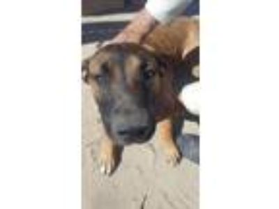 Adopt Butterfly a Shepherd, Mixed Breed