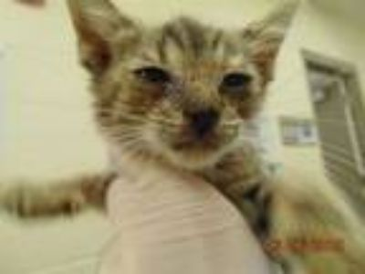 Adopt KITTY a Domestic Short Hair