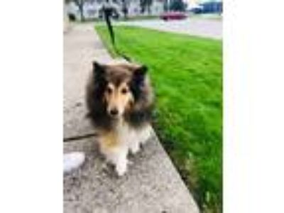 Adopt Molly a Brown/Chocolate - with Black Sheltie, Shetland Sheepdog / Mixed