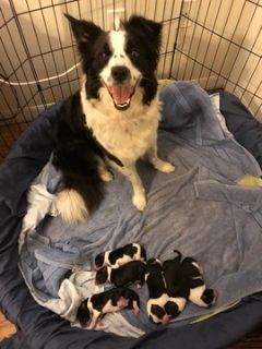 Border Collie PUPPY FOR SALE ADN-75705 - six border collie puppies for sale