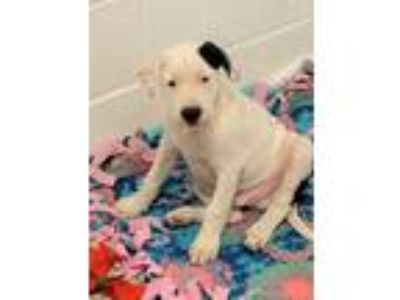 Adopt Jeremy a White - with Black Pit Bull Terrier / Mixed Breed (Large) / Mixed