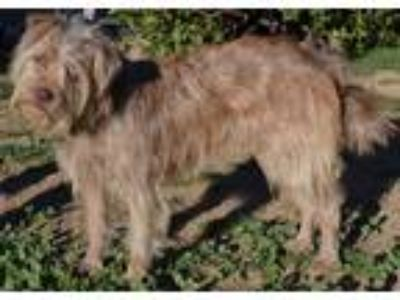 Adopt Daisy a Tan/Yellow/Fawn Brussels Griffon / Terrier (Unknown Type