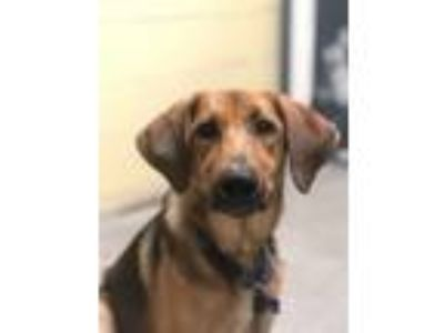 Adopt Cool Ranch Dorito a Hound (Unknown Type) / Labrador Retriever / Mixed dog