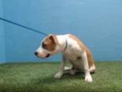 Adopt MAX a White - with Red, Golden, Orange or Chestnut American Pit Bull