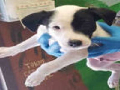 Adopt DOZER a White - with Black Jack Russell Terrier / Mixed dog in Lodi
