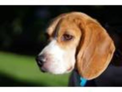 Adopt Dayna -Foster Needed a Beagle