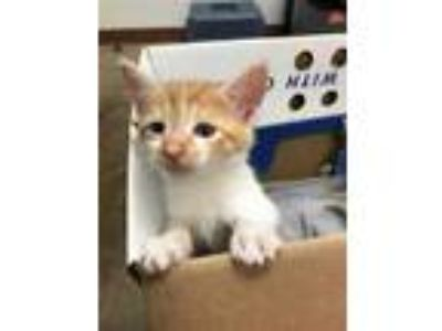 Adopt *APRICOT a Orange or Red Tabby American Shorthair / Mixed (short coat) cat