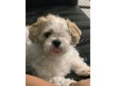 Adopt Boba a White - with Brown or Chocolate Shih Tzu / Mixed dog in Grand