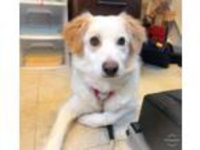 Adopt Milkshake a Border Collie, Mixed Breed
