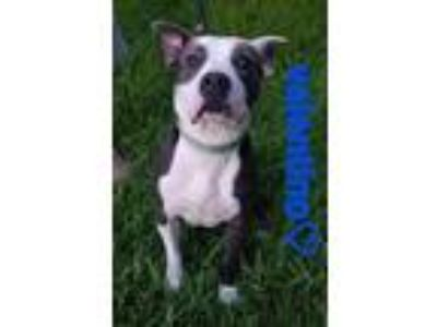 Adopt Valentino a Gray/Silver/Salt & Pepper - with White American Staffordshire