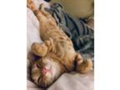 Adopt Citra a Orange or Red Tabby Domestic Shorthair (short coat) cat in Los