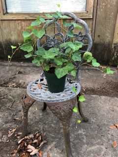 IVY PLANT GROWING UP A WIRE HOOP -6 POT