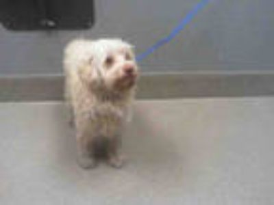 Adopt *MERLIN a White Terrier (Unknown Type, Medium) / Mixed dog in Las Vegas